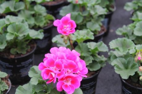 Standing geranium